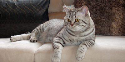 Katzenrassen - Britisch Kurzhaarkatze