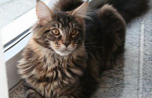 Katzenrassen - Maine Coon