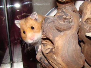 Hamsterarten Teil 2: Goldhamster