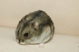 Hamsterarten Teil 1: dsungarische Zwerghamster