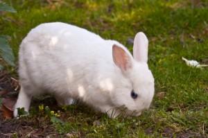 Kaninchenrassen Teil 3: Hermelinkaninchen