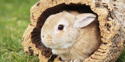 Kaninchenrasse - Farbenzwerg