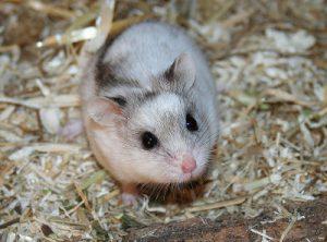 Hamsterarten Teil 5: Chinesische Streifenhamster
