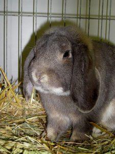 Kaninchenrassen Teil 4: Deutsche Widder