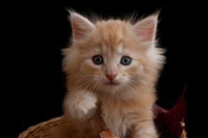 Katzenrassen - Norwegische Waldkatze