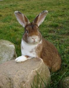 Kaninchenrassen - Riesenkaninchen