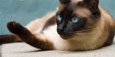 Katzenrassen - Siamkatzen