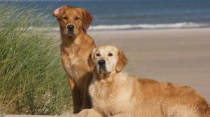 Hunderassen - Golden Retriever