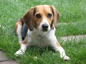 Hunderassen Teil 2: Beagle