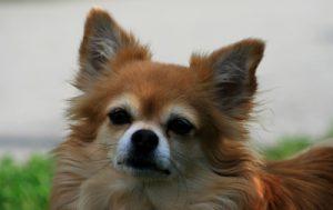Hunderassen - Chihuahua