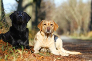 Hunderassen - Labrador Retriever