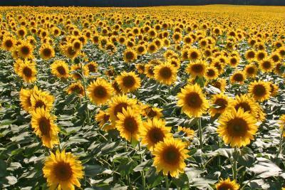 Naturapotheke für Kaninchen - Sonnenblume