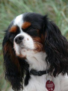Hunderassen - Cavalier King Charles Spaniel