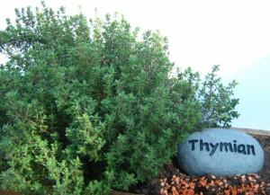 Naturapotheke für Kaninchen - Thymian