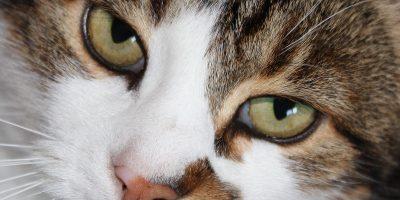 Bindehautentzündung bei Katzen