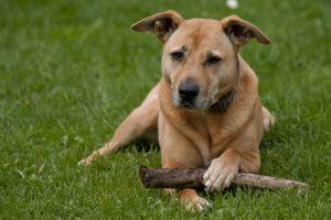 Hunderassen - Staffordshire Bullterrier